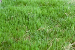 Bermuda Grass Seed Common Hulled 2 Lbs