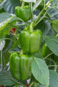Pepper Early Calwonder Seed Heirloom 1 Packet