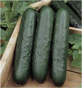 Cucumber Poinsett 76 Seed 1 Packet